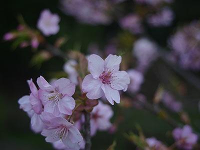 開花してた山桜を撮影